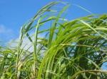 Barbados Sugar Cane.jpg
