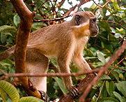 monkey-barbados.jpg