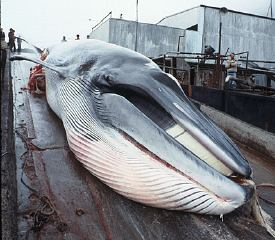 barbados-greenpeace-whaling.jpg