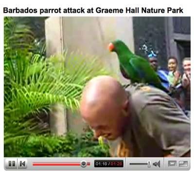 parrot-attack-barbados.jpg