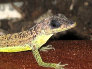 barbados-lizard-graeme-hall-nature.jpg