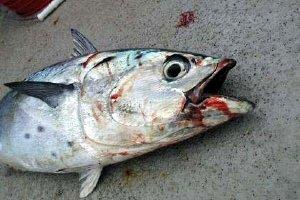 barbados-dead-fish.jpg