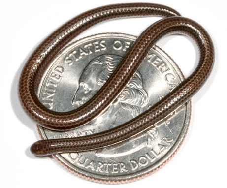barbados smallest snake - New Types snake