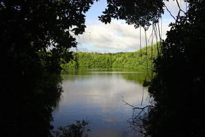 Click Photo For Barbados Advocate Article About How Mangrove Swamps Fight Global Warming