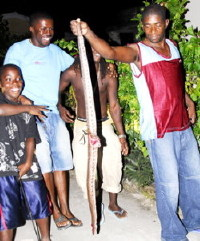 Another Large Snake Killed In Barbados (Nation News Photo Dec 28, 2008)
