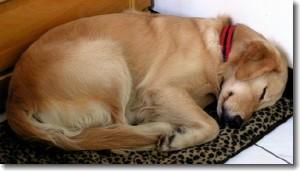 Barbados sleeping-dog