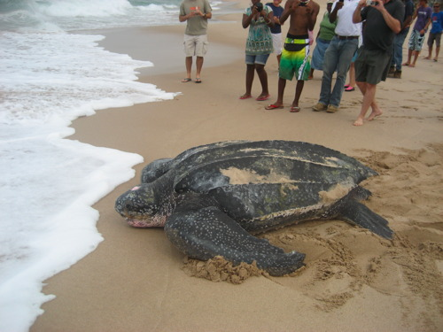 http://barbadosfreepress.files.wordpress.com/2010/06/barbados-leatherback-turtle-2.jpg?resize=500%2C375