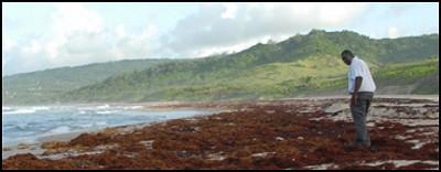 Seaweed, Barbados and scientific illiteracy | Barbados Free