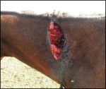 Barbados Race Horse Abuse 1