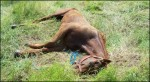 Barbados Race Horse Abuse 3