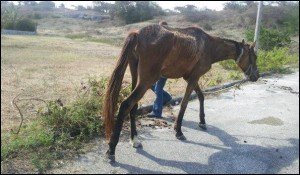 Barbados Race Horse Abuse 4