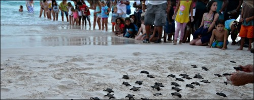 Barbados Sea Turtle Release