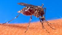 Mosquito dengue Barbados