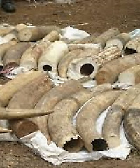China blood ivory
