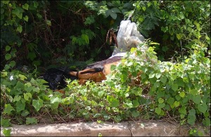 Barbados environment dead sheep dumping