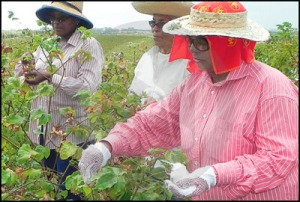 Barbados picking cotton